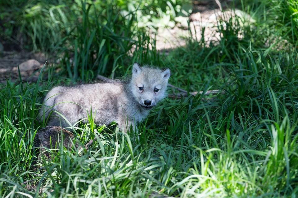 Baby Arctic Wolf--Julie and Eric Photo