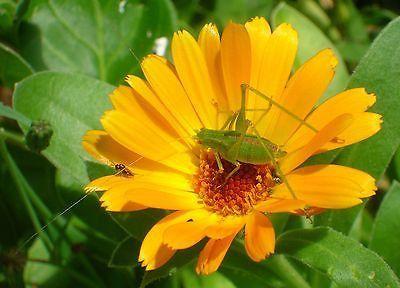 P*T Marigold Calendula Officinalis Self Sows Edible 640 x 480
