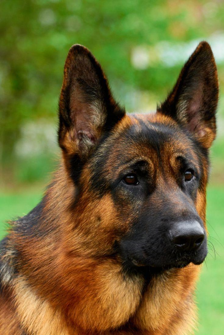 Beautiful german shepherd on green grass germanshepherd