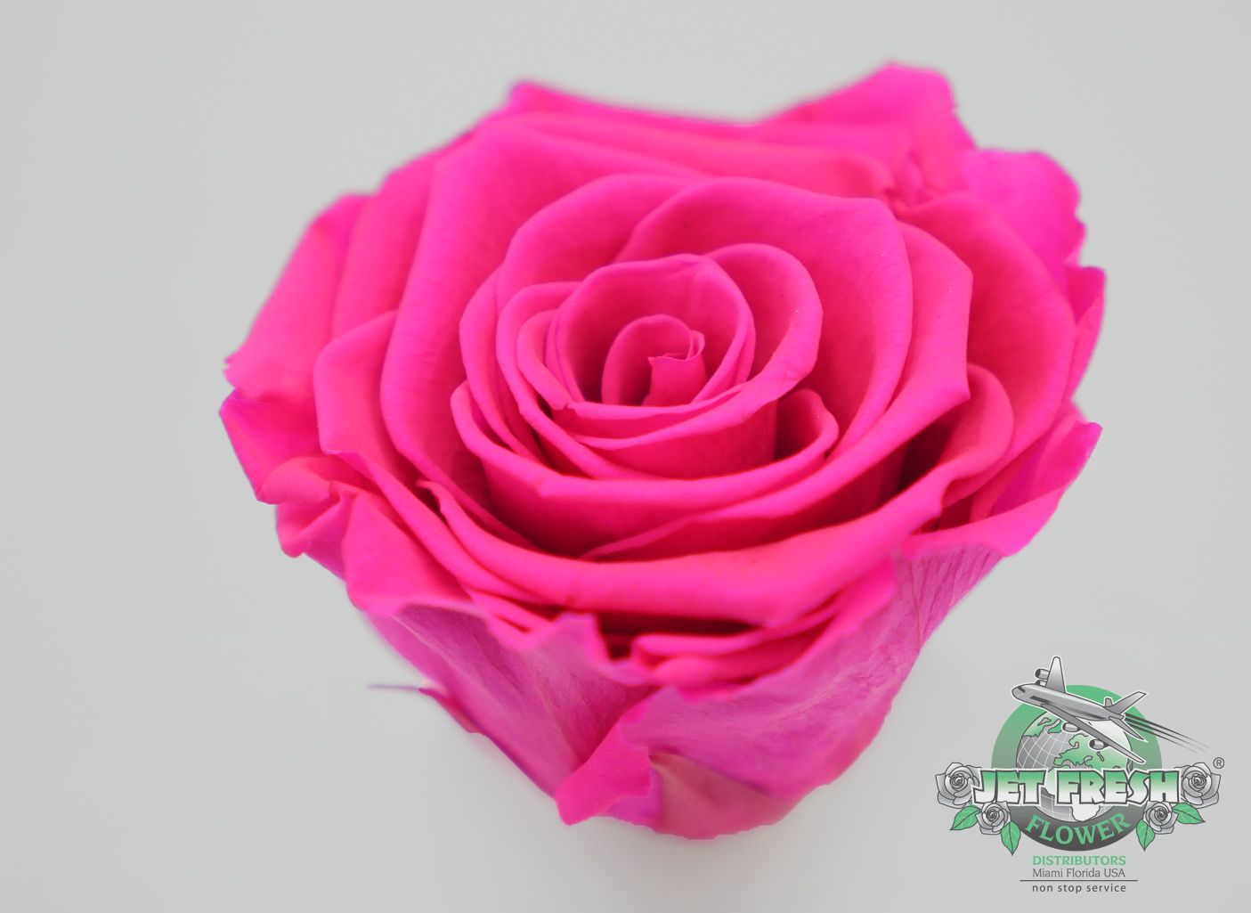 Up Close View At Jet Fresh S Hot Pink Preserved Roses This New Variety Is