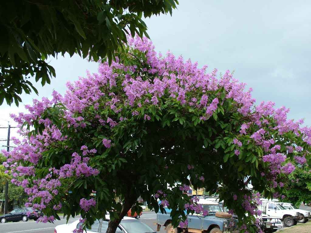 Pride Of India Lagerstroemia Speciosa Purple Flowering Tree Flowering Trees Garden Trees