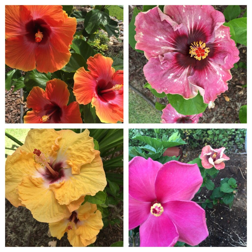 Hibiscus blooms 81716 hibiscus of hawaii pinterest hibiscus hibiscus blooms 81716 izmirmasajfo Image collections