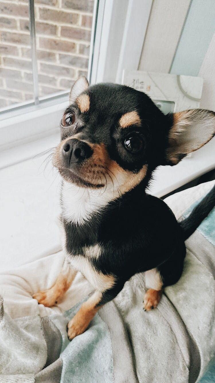 Taia Hara Chihuahua Puppies Cute Puppies Puppies