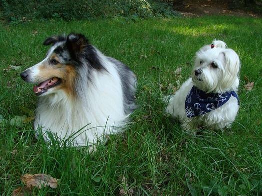 Dog - Maltese - Fifty on www.yummypets.com