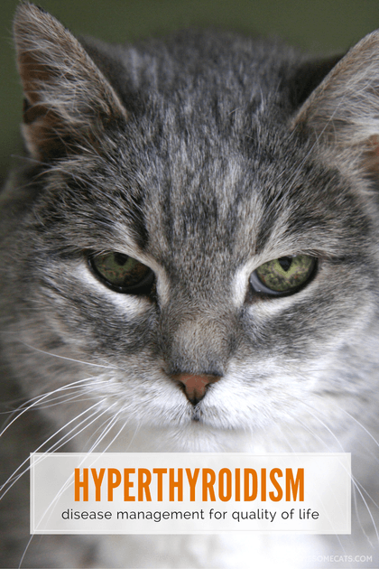 Hyperthyroidism in Cats Symptoms and Treatment Cat