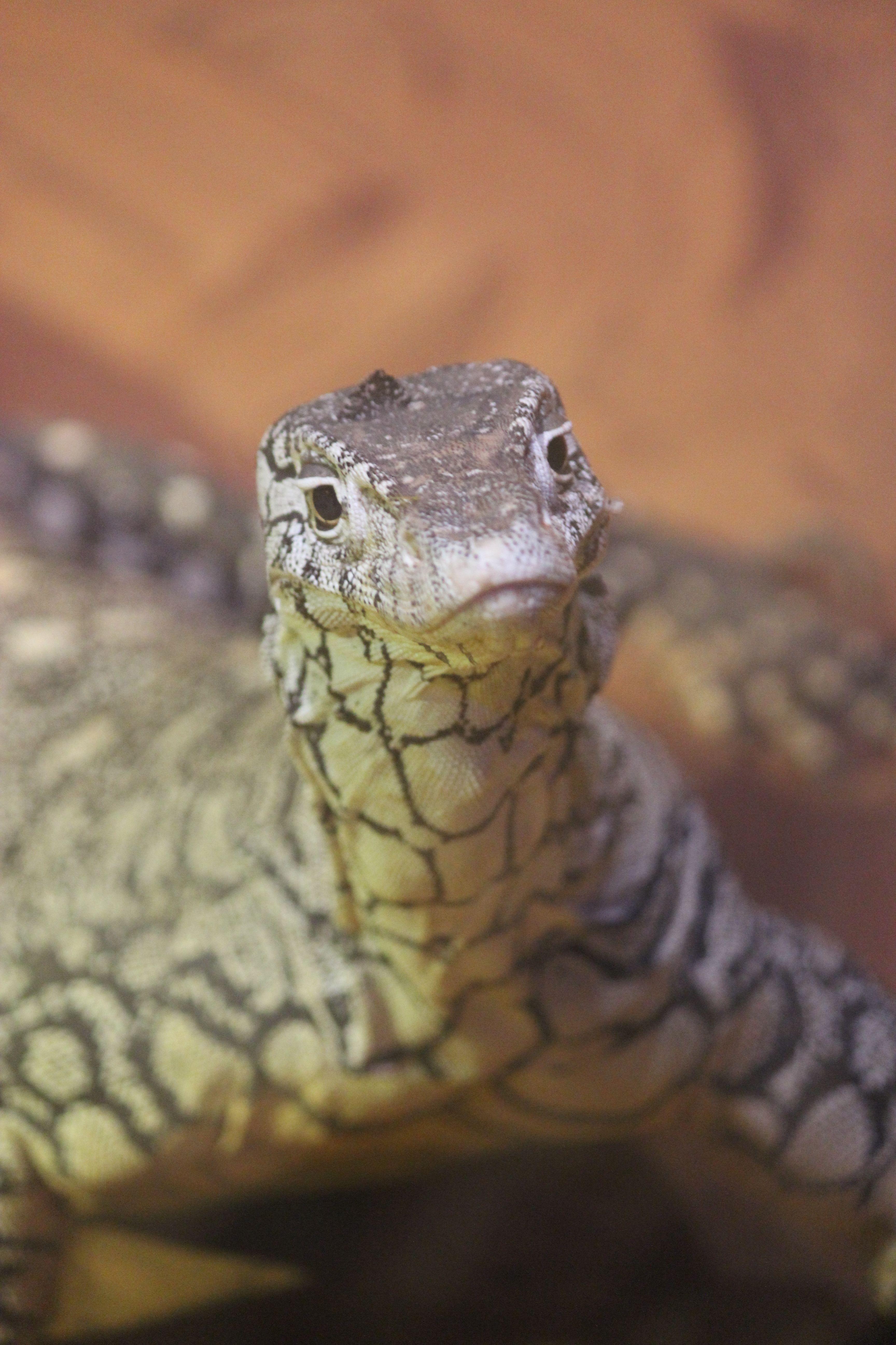 Lace Monitor Australian Reptile Park, Australia NSW