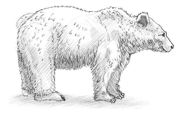 Einen Bären in der Seitenansicht zeichnen   jetzt   Pinterest ...