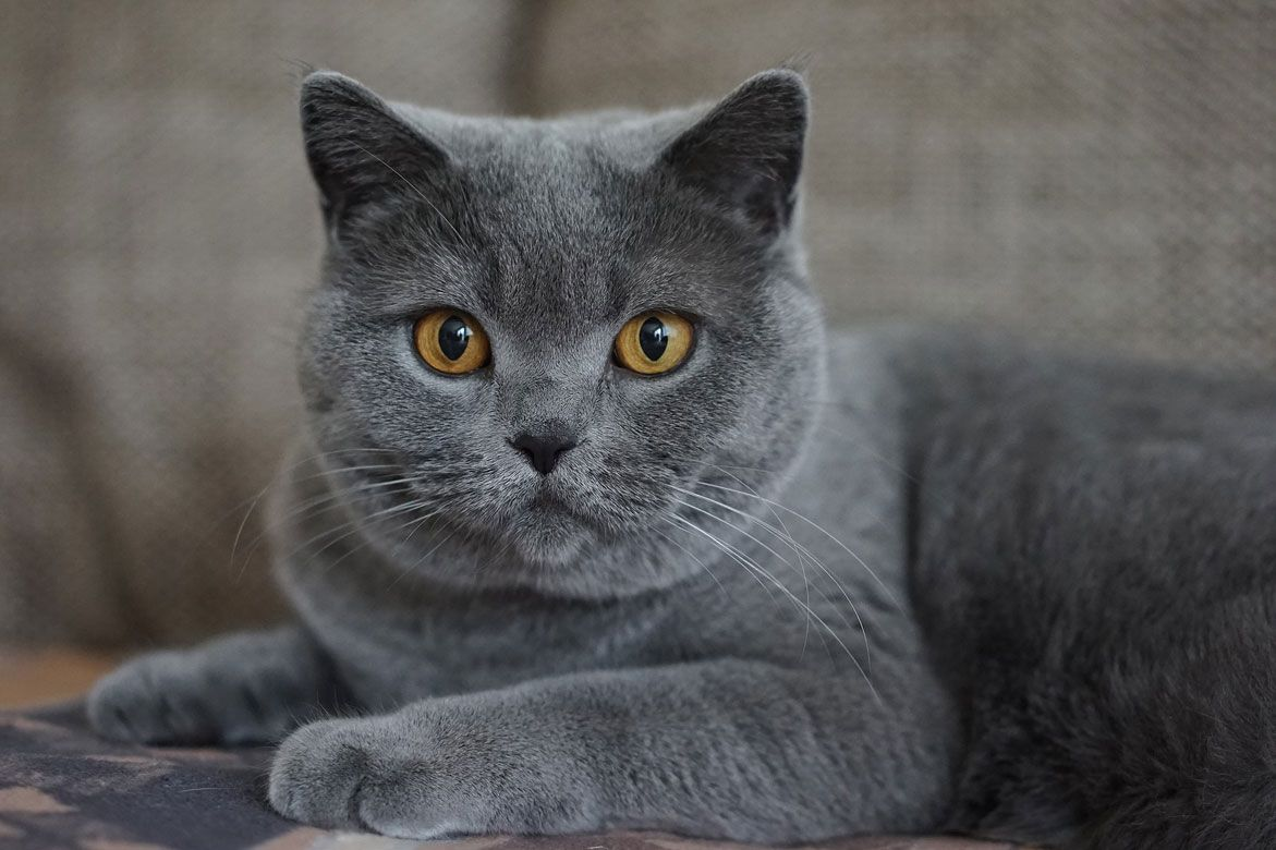 7 Weird Things That Happen When You Go Gray Grey cat