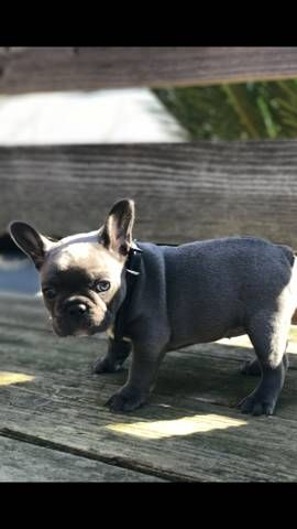 French Bulldog Puppy For Sale In Modesto Ca Adn 26643 On