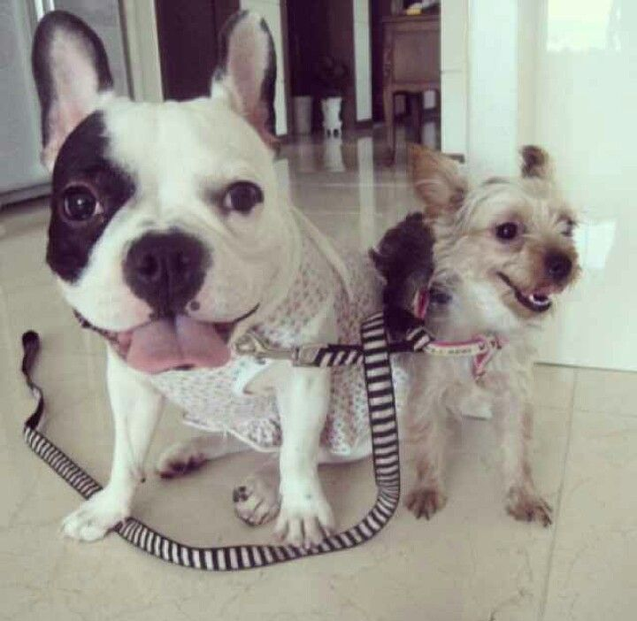 So Funny Pic By Uunme Dogs French Bulldog Animals