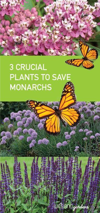 Helping Monarchs is easy is part of Monarch butterfly garden, Butterfly plants, Hummingbird plants, Perennial garden, Flowers that attract butterflies, Gardening for dummies - Helping Monarchs is easy   click to learn more  Helping Monarchs is easy   click to learn more  Identifying Soldier BeetlMexican Bean Beetle ContrKale is a nutrientdense