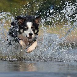 Border Collie Jump Water Training Your Dog Dog Shaking