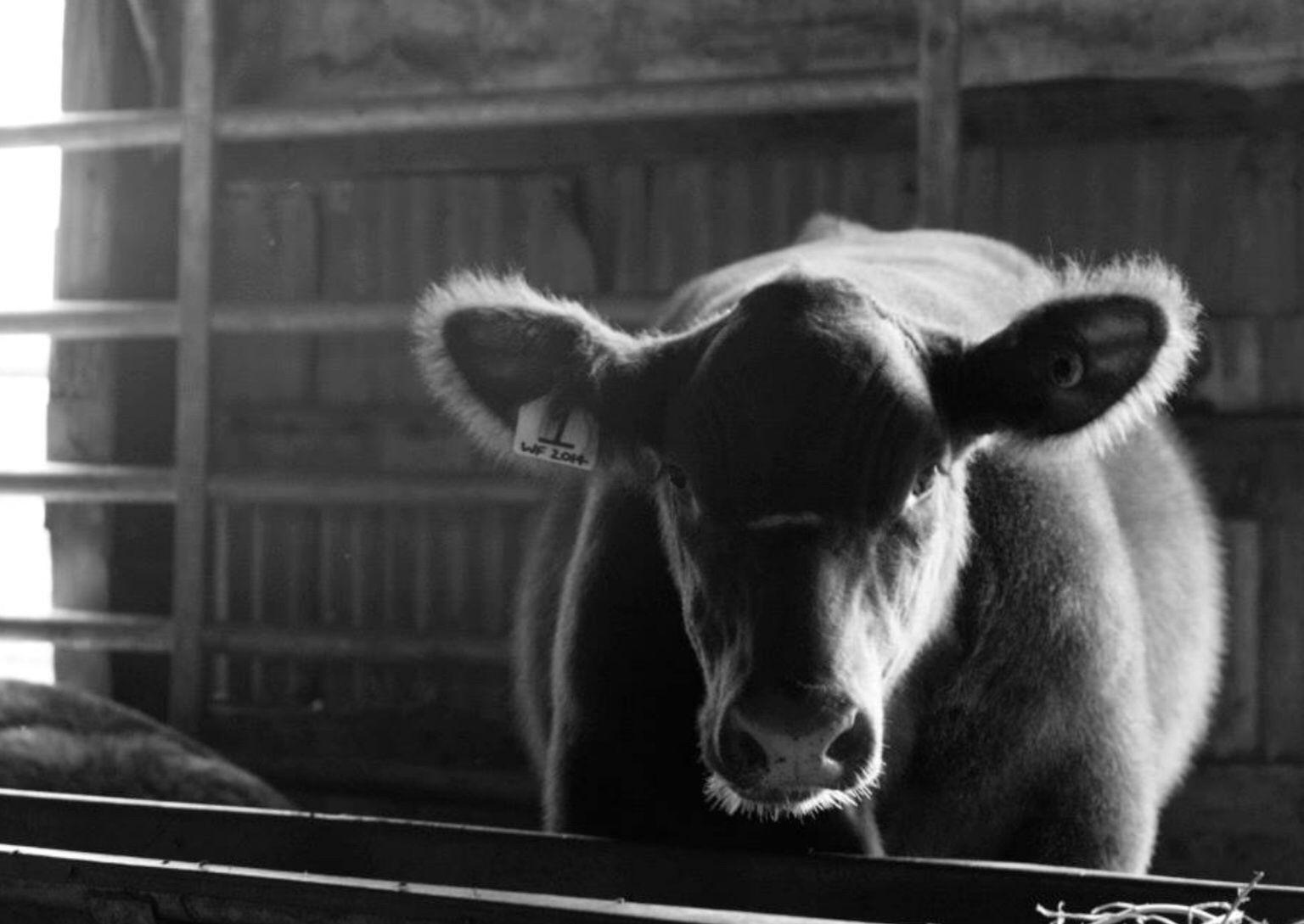 Cute cow picture idea