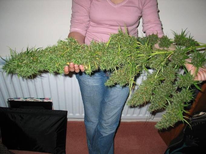 Ya tenemos árbol para esta Navidad ;) #marihuana #cogollos