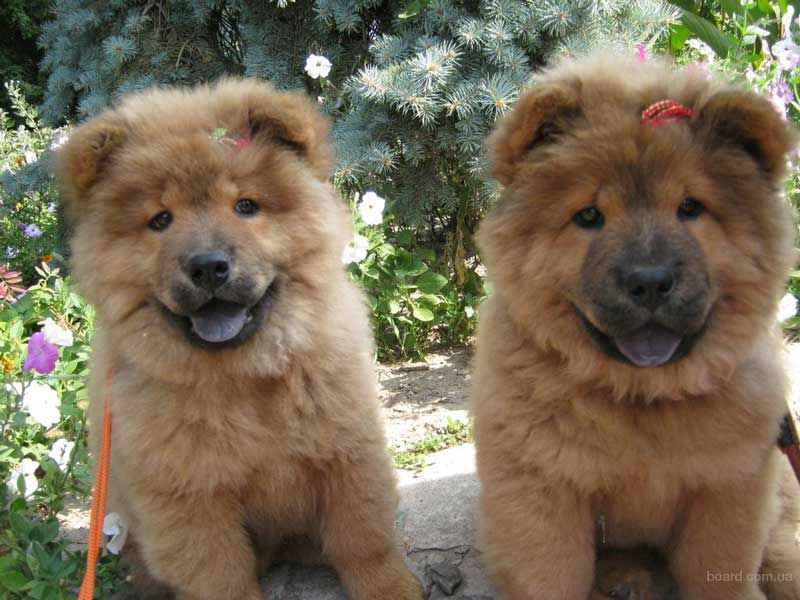 порода собаки чау-чау фото