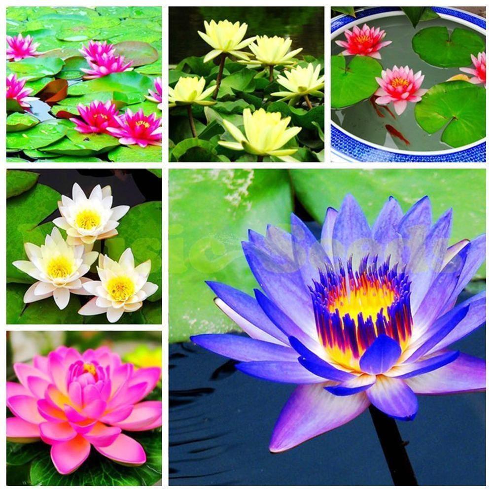 40pcs Lotus Flower Seeds Aquatic Plants Bowl Lotus Water Lily Seeds