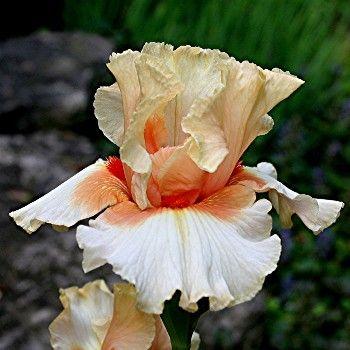 'Santa' Tall Bearded Iris