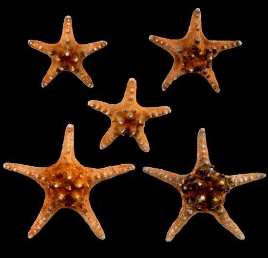 Bulk Starfish For Crafting Starfish Underwater Animals Sea Shells