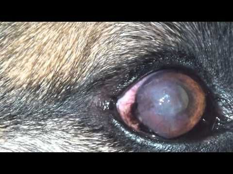 Dog Eye Infections Eye Infections In Dogs Youtube Eye
