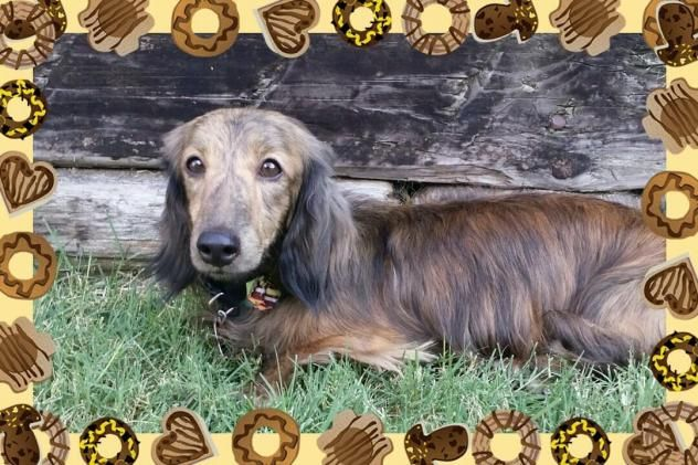 Dachshund Adult Male Small Lowrider Dachshund Rescue Moore