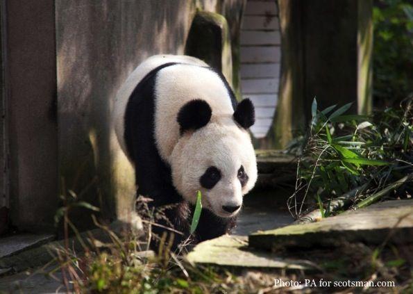 Pin On Panda Monium