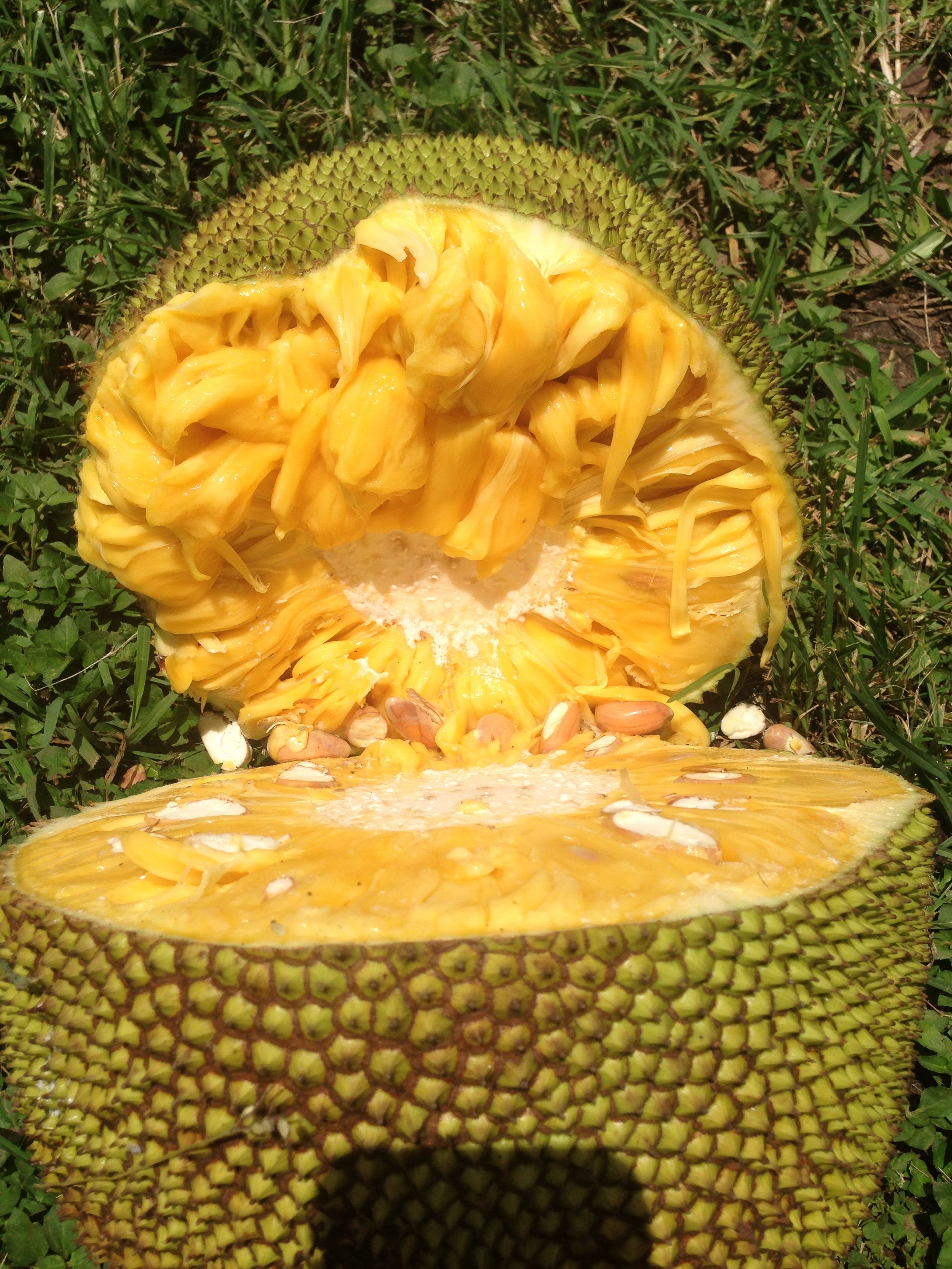Jackfruit from Florida. I love this fruit and wish I could grow it here. Tastes like juicy fruit gum