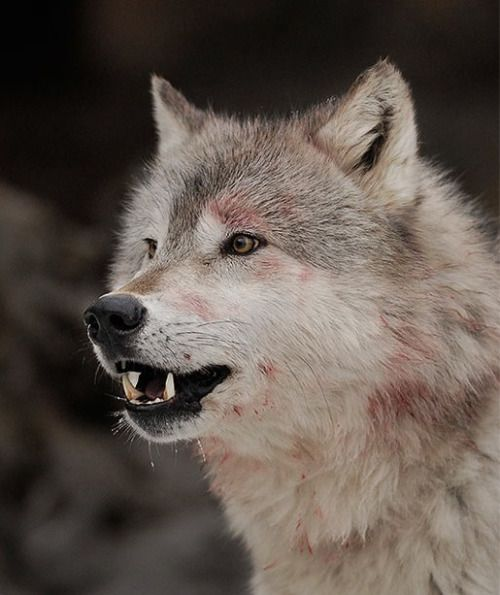 The Reluctant Paladin Wolf Animals Husky