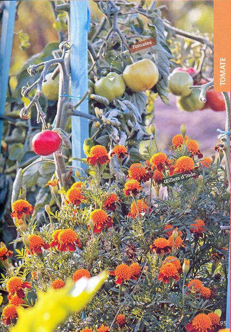 13 astuces pour bien faire pousser les tomates - Faire pousser tomate cerise ...