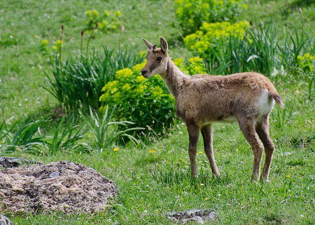 Un rebeco Mammals, Animals, Photography