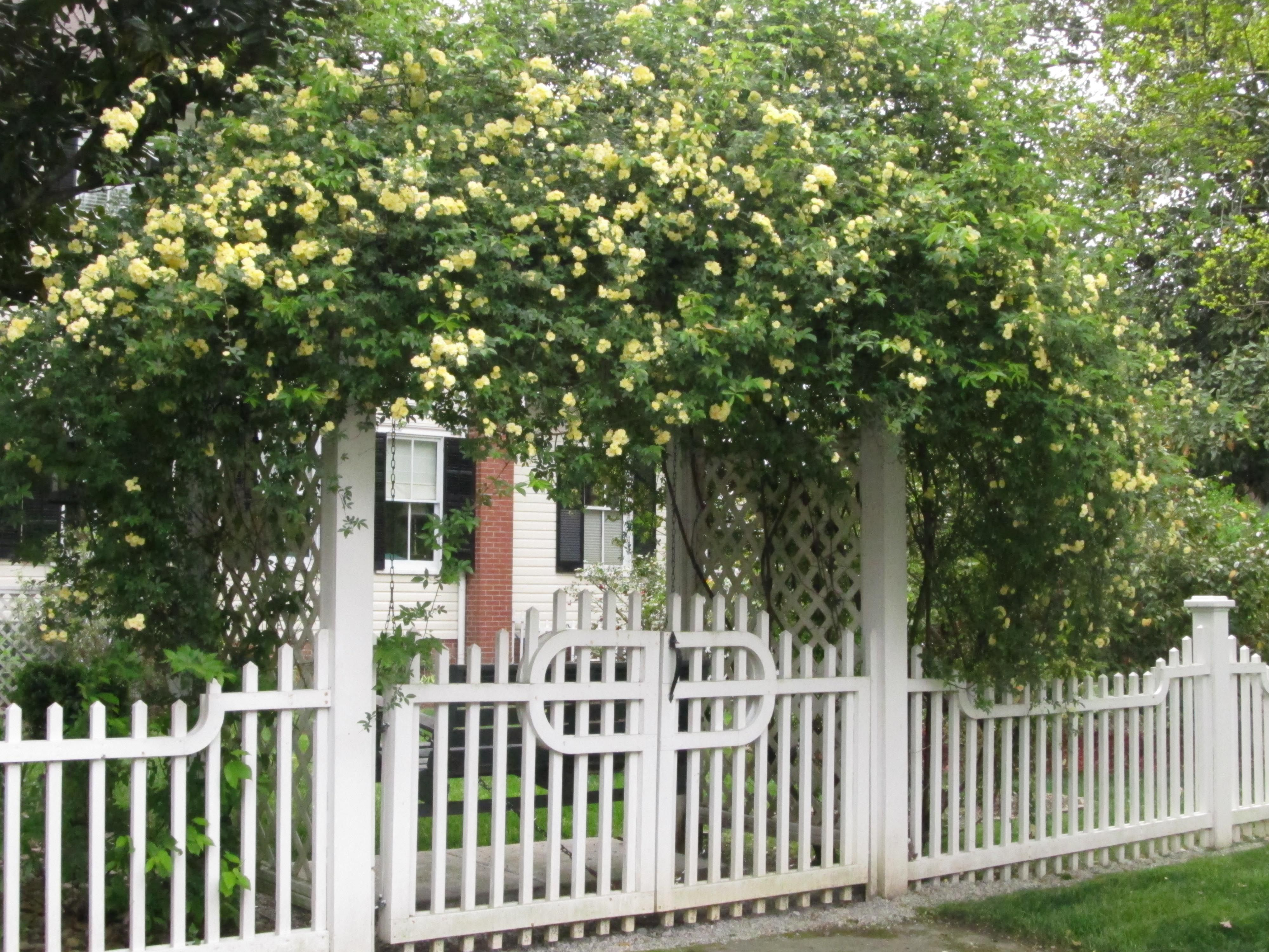 Climbing Rose Trellis Ideas Part - 42: Lady Banks Rose Trellis.. I Kind Of Like This Overhead Security Hedge.