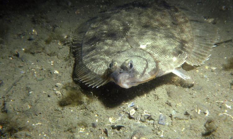 Flounder new