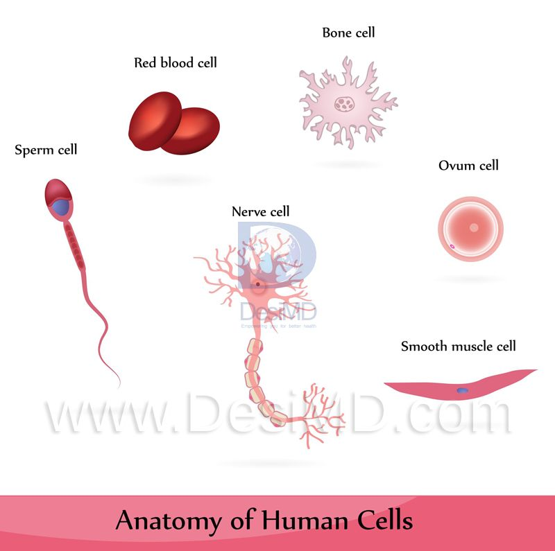 Health Fact 24 The Largest Cell In The Human Body Is