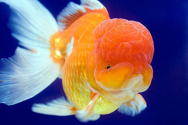 Oranda Lion Head Gold Fish Oranda Goldfish Lionhead Goldfish Goldfish