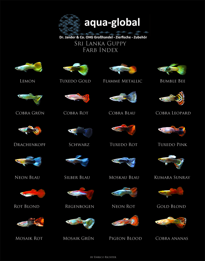 Types of Guppies - The guppy (Poecilia reticulata), also known as millionfish and rainbow fish, is one of the world's most widely distributed tropical fish, and one of the most popular freshwater aquarium fish species. Tropical Freshwater Fish, Tropical Fish Aquarium, Tropical Fish Tanks, Freshwater Aquarium Fish, Aquascaping, Fish Chart, Nano Cube, Fish Breeding, Especie Animal