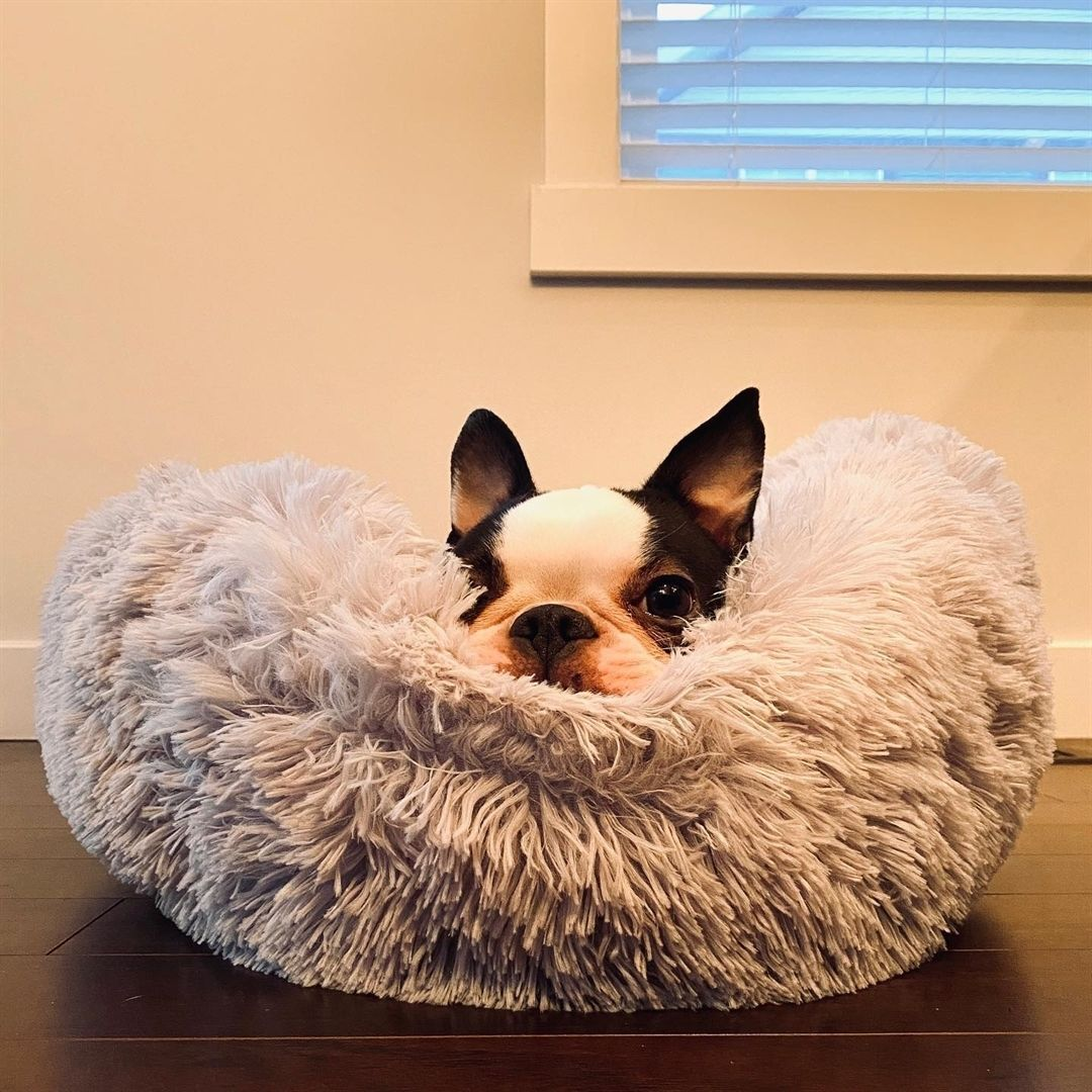 306 Likes 3 Comments Bostonterrier Puppy