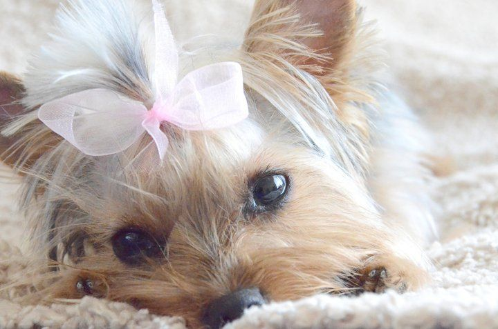 yorkie puppy in pink bow