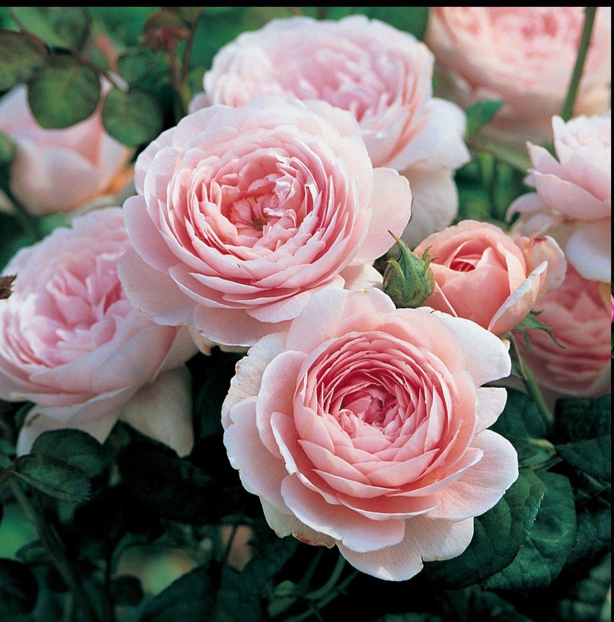 Épinglé par Eddie sur FLOWER ROSES Jardin fleurs coupées