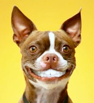 Smiling Dog With Dentures Smiling Dogs Boston Terrier Funny Dogs