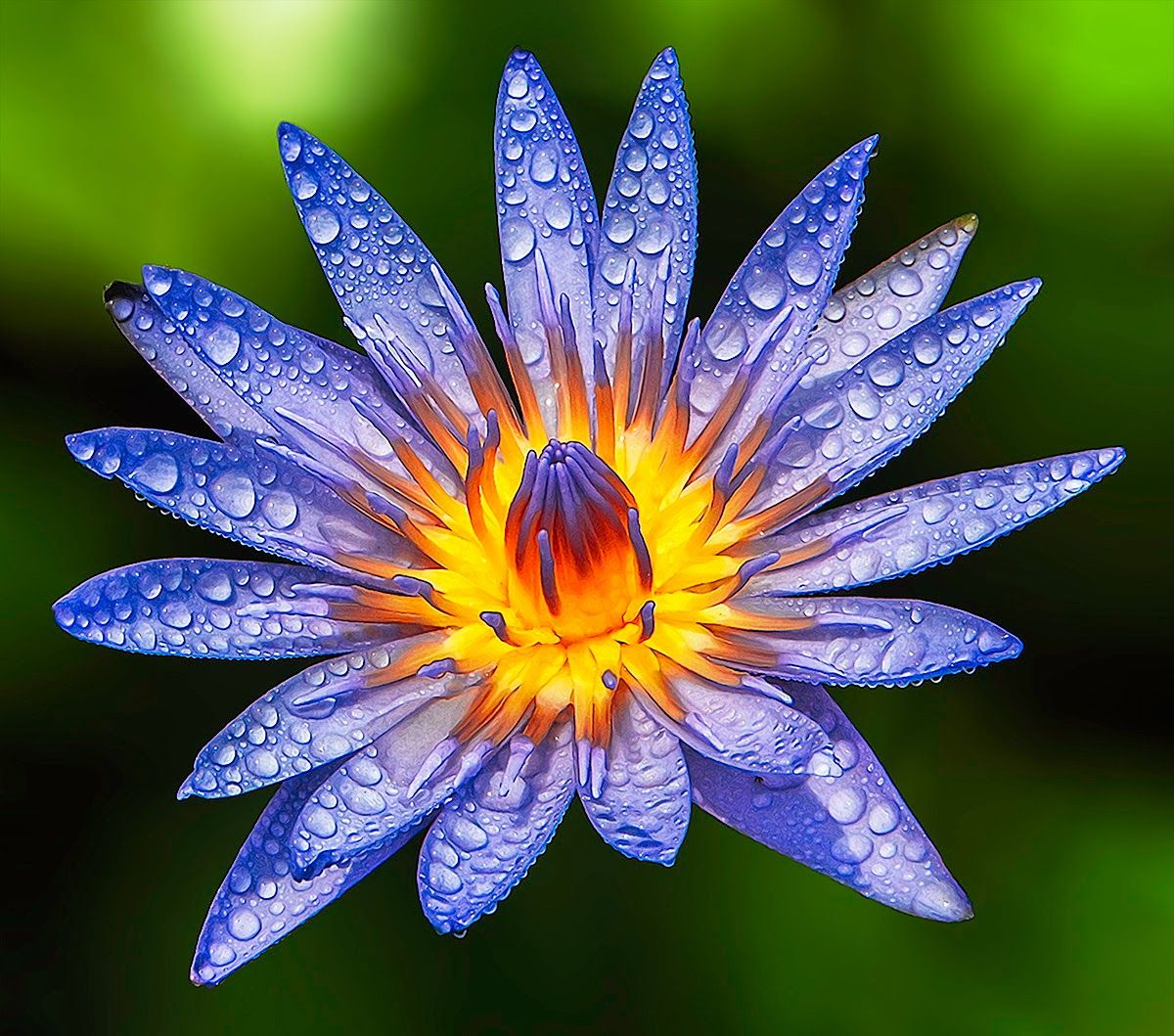 Nymphaea caerulea also known as the blue egyptian water lily or nymphaea caerulea also known as the blue egyptian water lily or sacred blue lily by her jr salvan photography via dubie bacinos photo on google izmirmasajfo