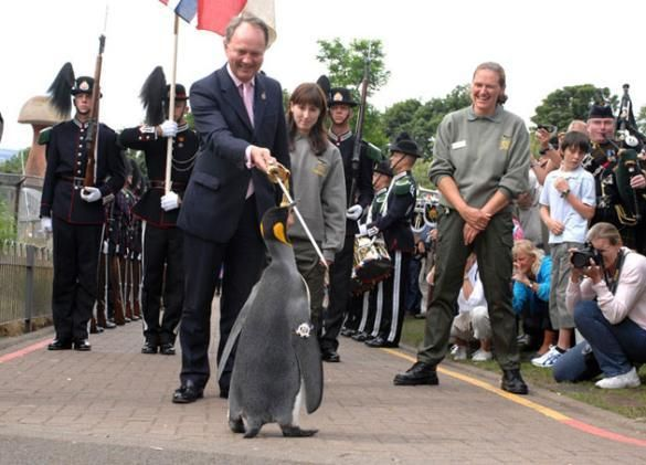 Sir Nils Olav, a king penguin, was given the prestigious honour of a knighthood--a position so high it had to be approved the King of Norway, King Harald V.  The ceremony was lavish, and a crowd of several hundred joined 130 Guardsmen as Nils walked down to receive his knighthood.  He was on his best behaviour the whole day, as always, and stood proudly as he was knighted.