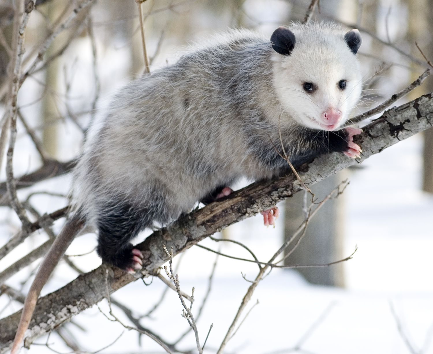 new york ecologist says opossums are very efficient tick killers