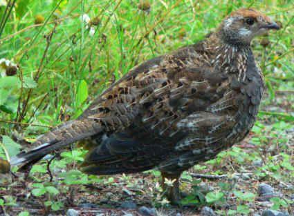 Types Of Birds   game birds plain chachalaca wild turkey types of birds sometimes they ...