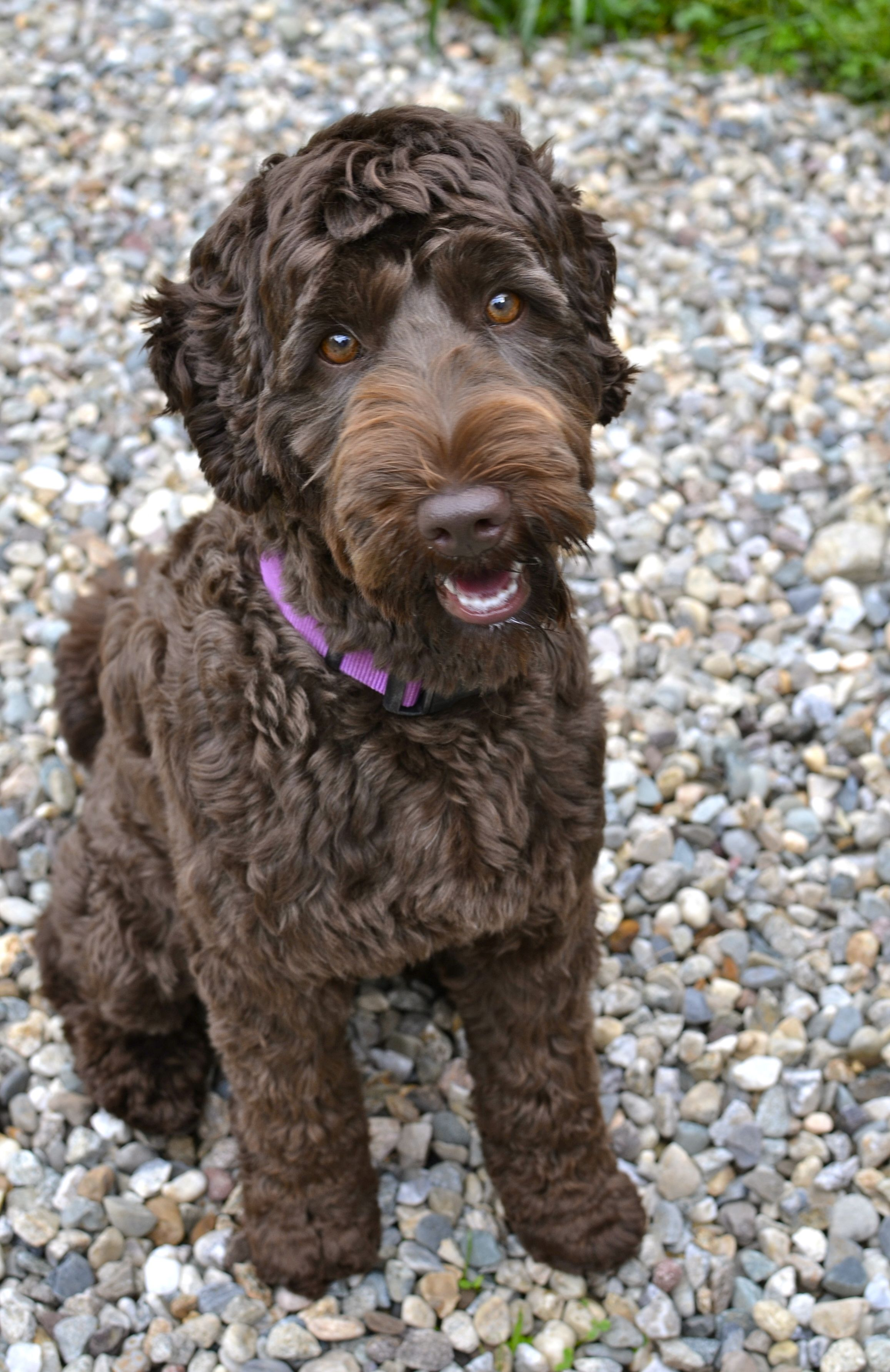 black labradoodle haircuts berkshire hills australian labradoodles with images