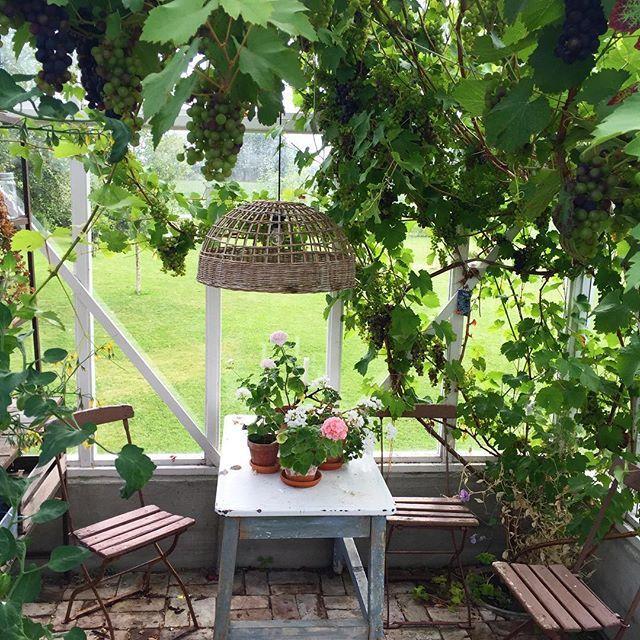 Ser ut til å bli en god druehøst! #greenhouse #drivhus #druer #myhome #mygarden #detgodelivpålandet #småbruk #brunlanes #halvorbakke