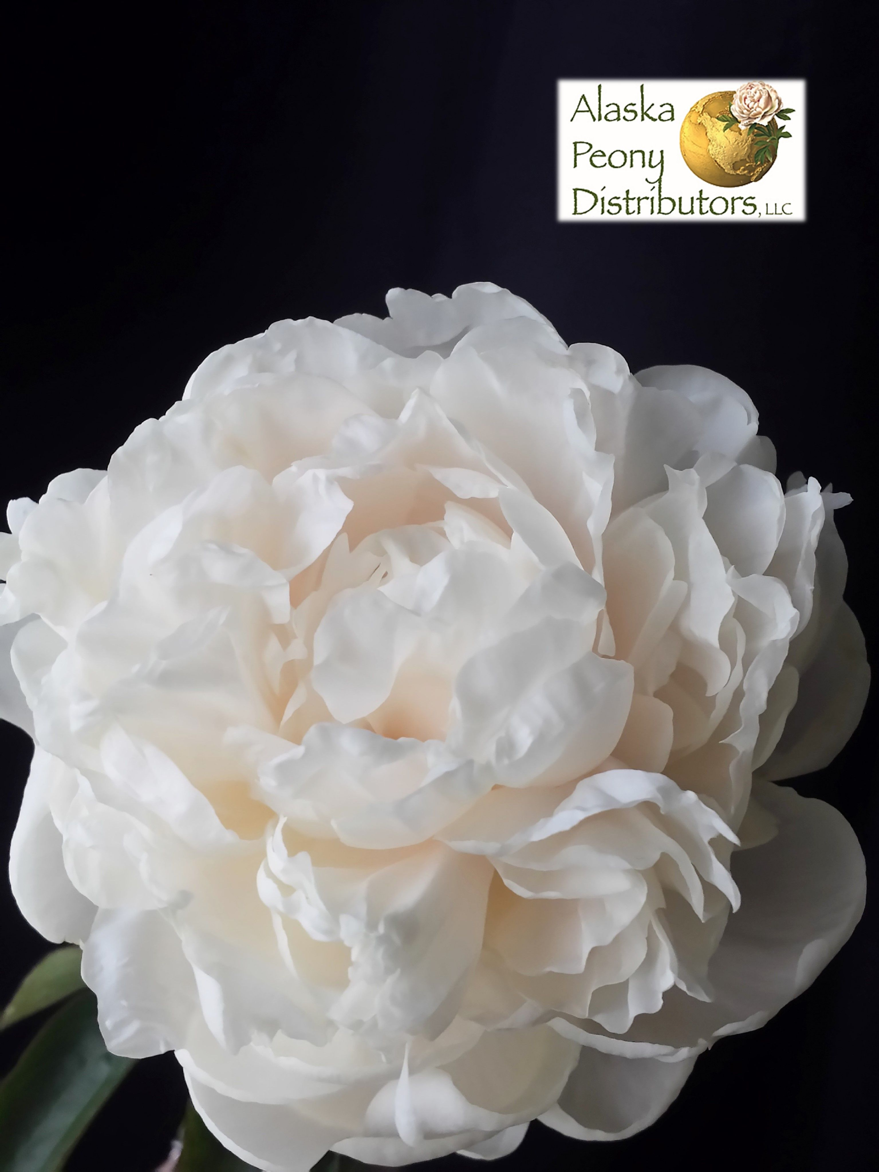 A Close Up Of A Creamy White Avalanche Peony Avalanche Peonies