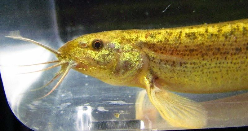 Weather loaches are listed on the endangered species list for Loach fish types