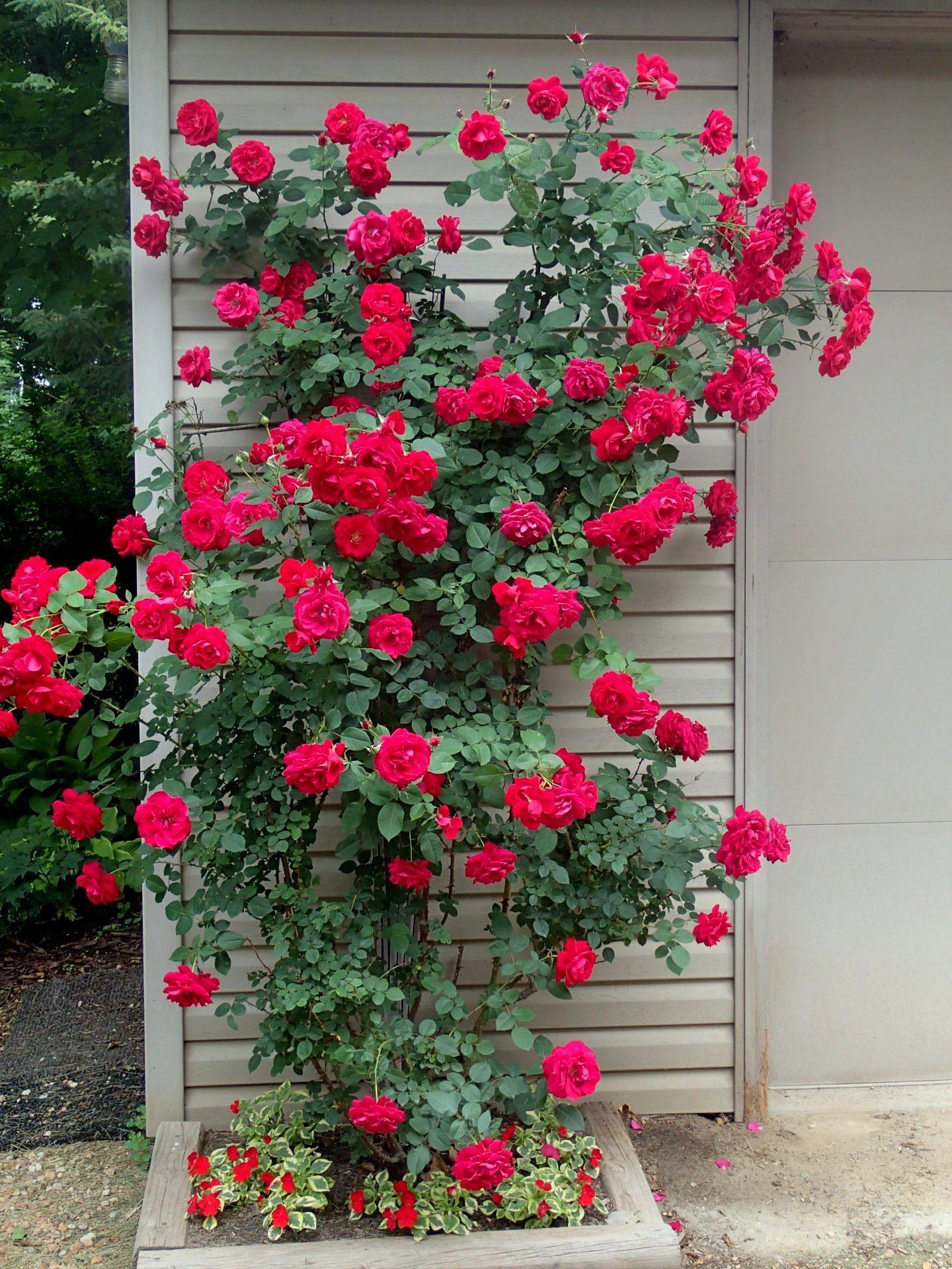 Ramblin' Red Rose