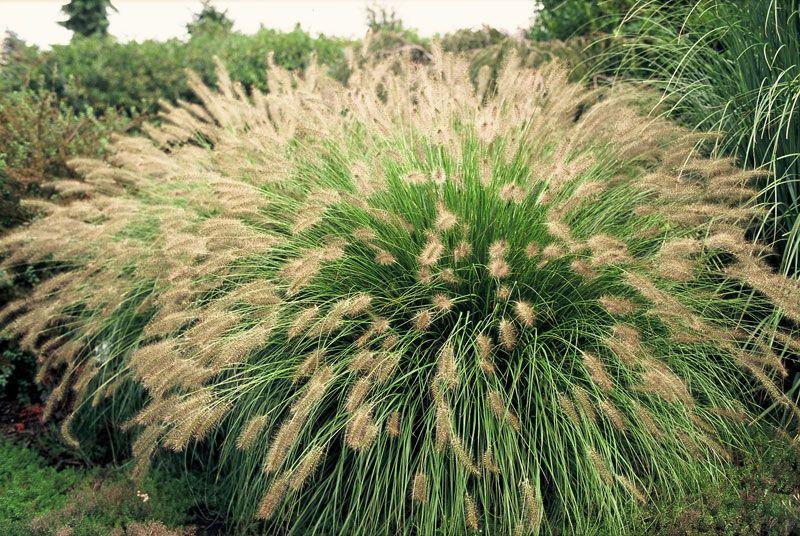 Hameln Ornamental Grass Lampborstgrs pennisetum alopecuroides hameln rabatter nske lampborstgrs pennisetum alopecuroides hameln workwithnaturefo