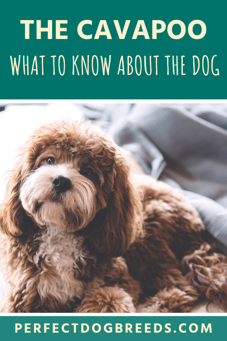 The Cavapoo dog, also known as a Cavoodle, were originally
