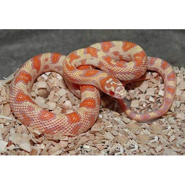 Log In Instagram Corn Snake Pet Snake Cute Reptiles